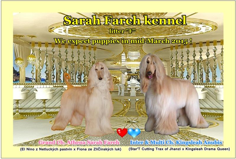e0e30b90100 Afgánsky chrt - šteniatka SARAH FAREH